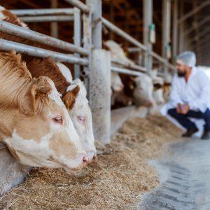 állatorvos ellenőrzi a szarvasmarhákat